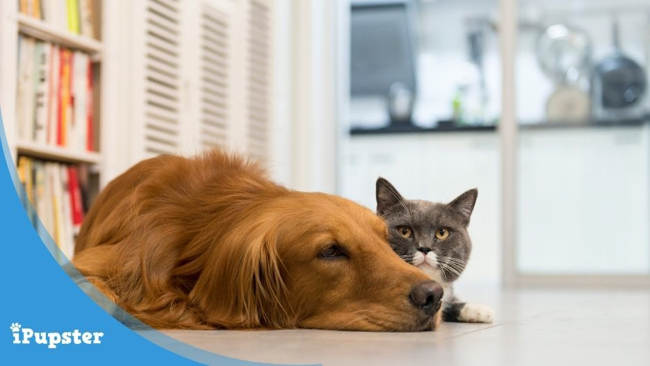 Cute golden retriever and shorthaired gray domestic cat indoors