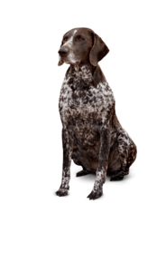 Hunting breed dog