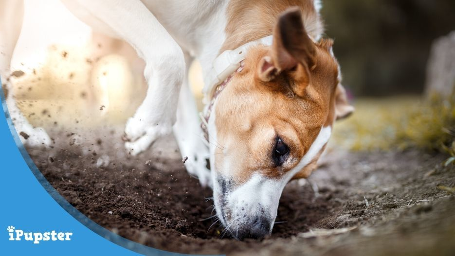 Dog digging for and eating dirt