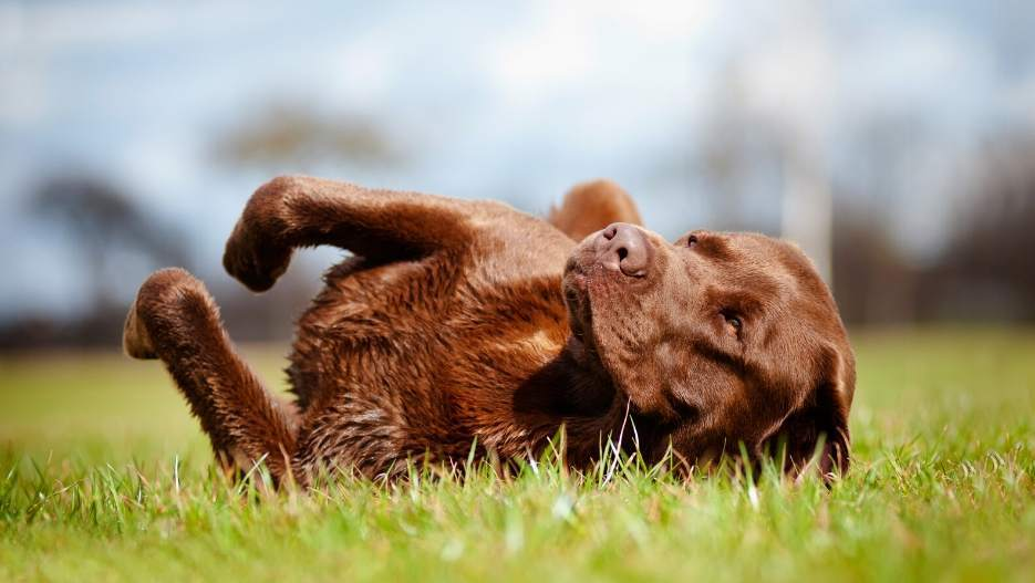 Brown Labrador rolling in grass