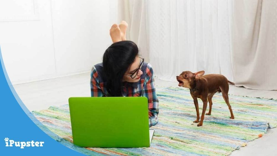 A Chihuahua dog barking at her owner while working on laptop