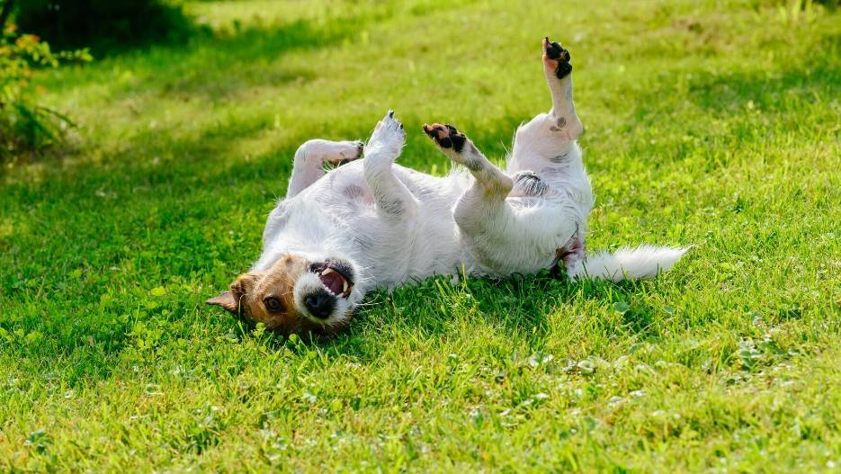 Terrier rolling in green grass