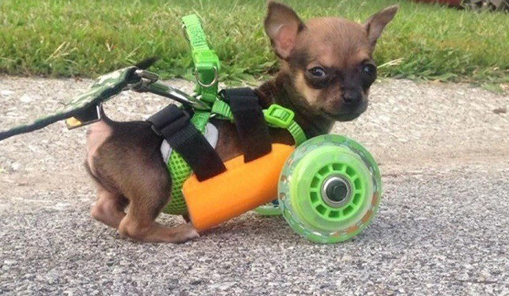 Chihuahua dog in a 3D Printed Wheelchair