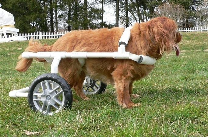 Golden retriever in a PVC pet wheelchair
