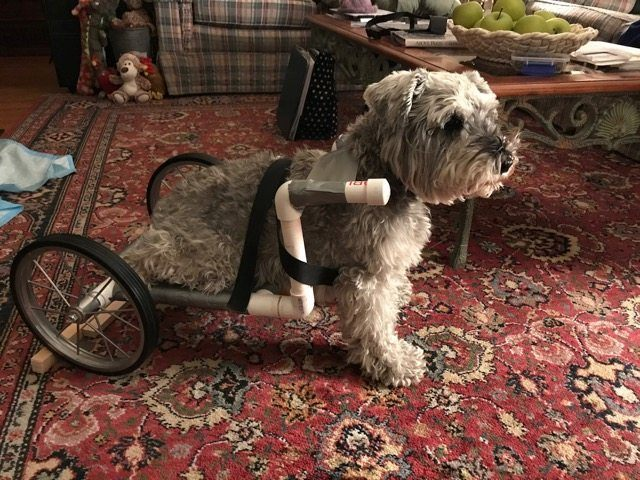 Disabled dog in Homemade Dog Wheelchair