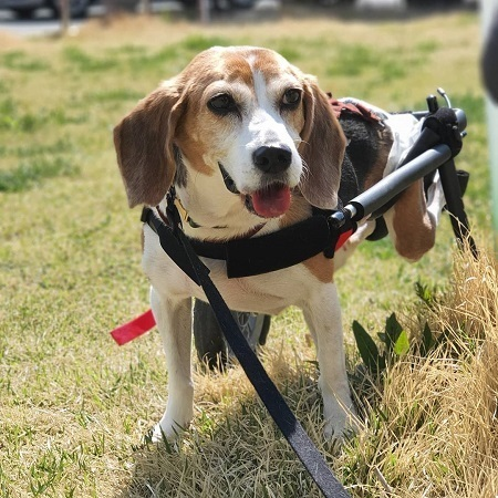 Beagle pet mobility issues in rear leg wheelchair