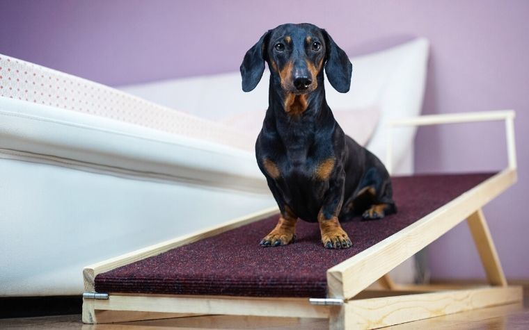 A dachshund dog sits on a dog ramp to get onto bed