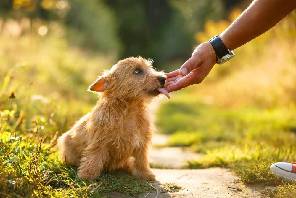 Puppy licking owner's hand