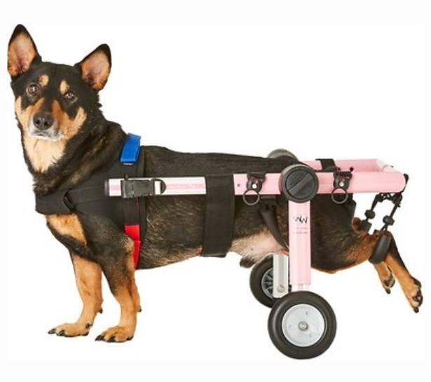 small dogs in a Veterinary approved wheelchair for dogs
