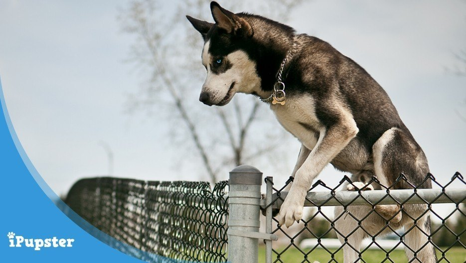 A husky jumping over the yard wall