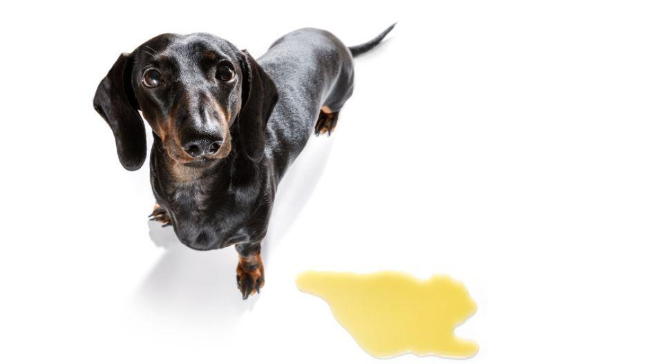 Dachshund sausage dog peeing accidentally