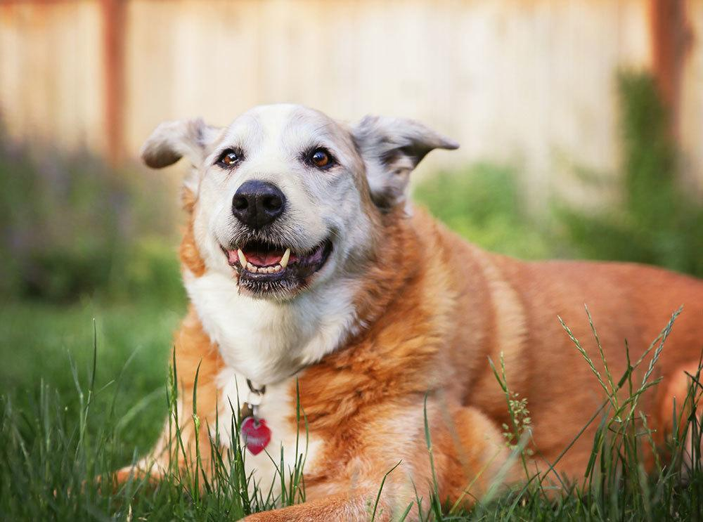 An obese dog