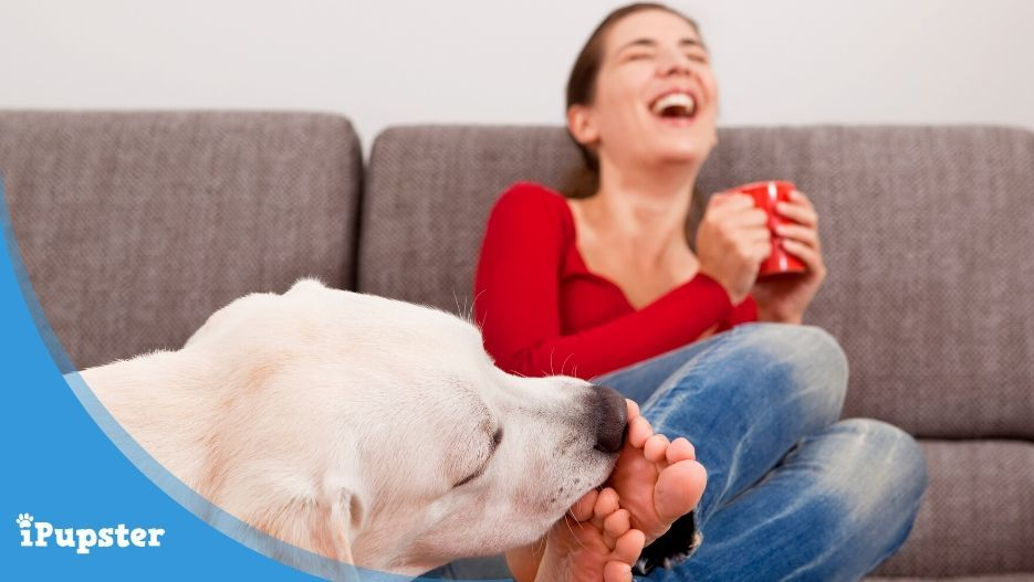 Pet labrador licking female owner feet