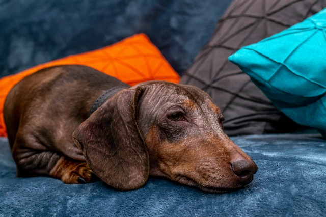 Cute dog resting on a couch wrapped in a blanket