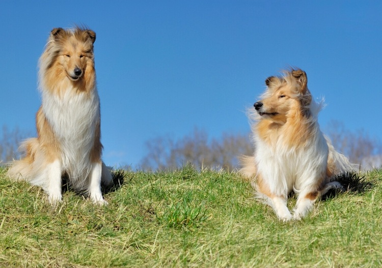 2 Collies sitting on the grass