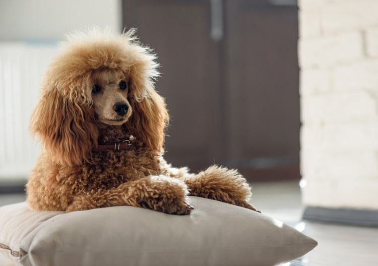 Poodle lounging on a pillow
