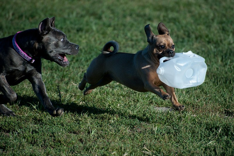 Dogs chasing in park playing with milk bottle