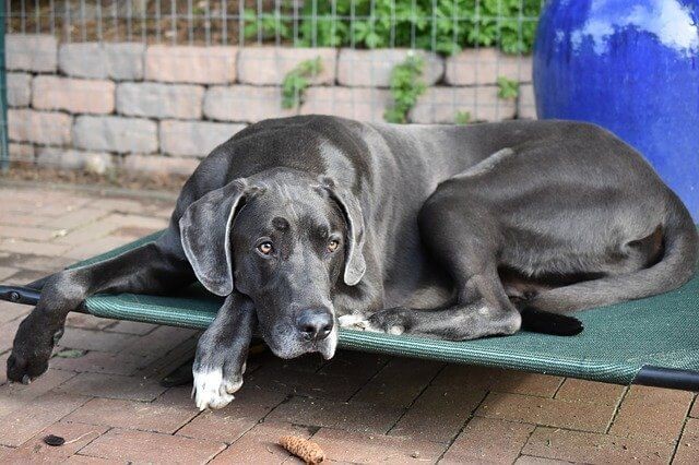 Great Dane curled up sleeping on dog comfy dog bed