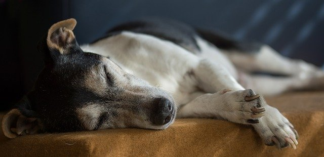 An aging dog and common health issues