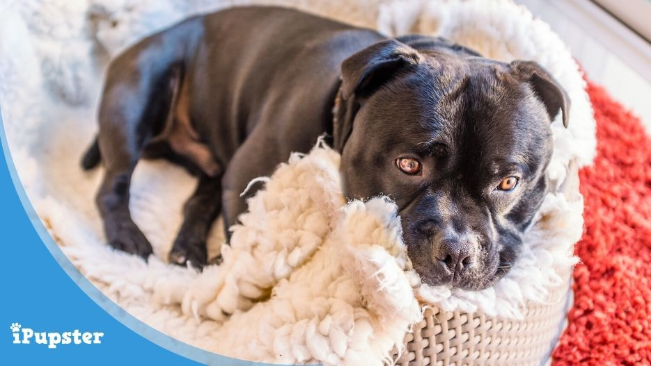 Cute Staffordshire Bull Terrier dog curled up in his bed