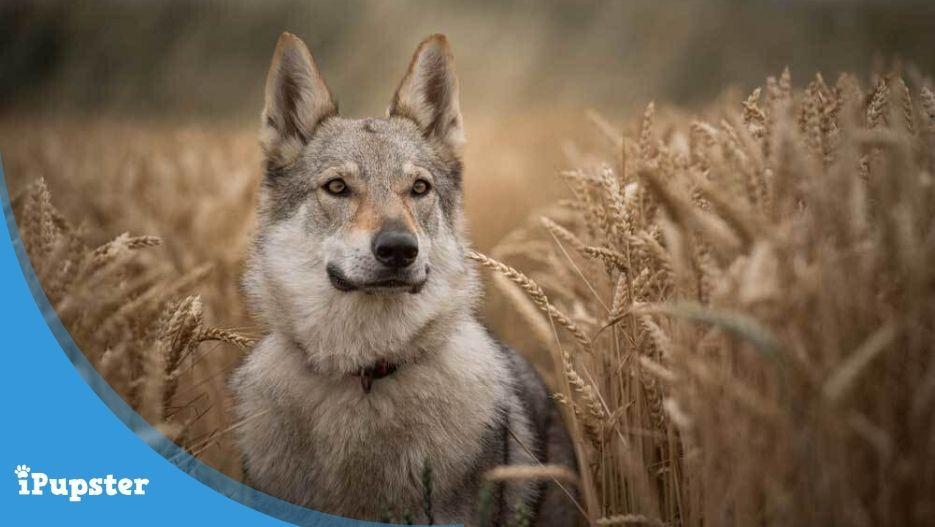 Cute dog walking through grain fields