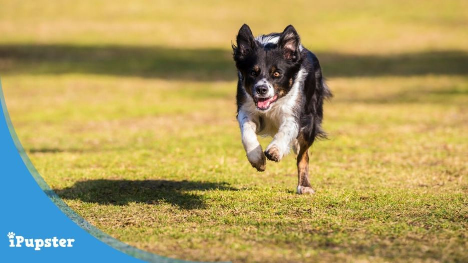 Border Collie Being Recalled In Obedience