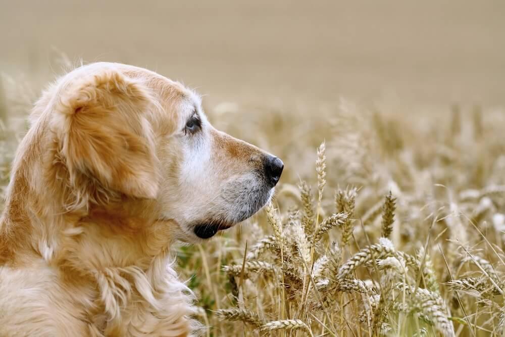 Golden retriever walking in corn fields