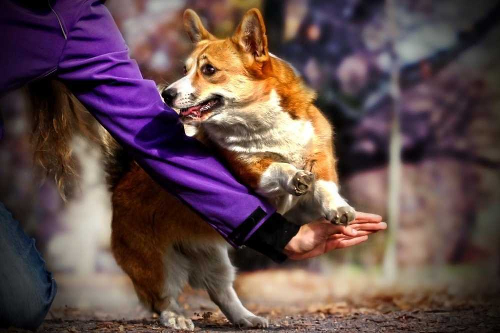 Welsh corgi dog stopped from jumping