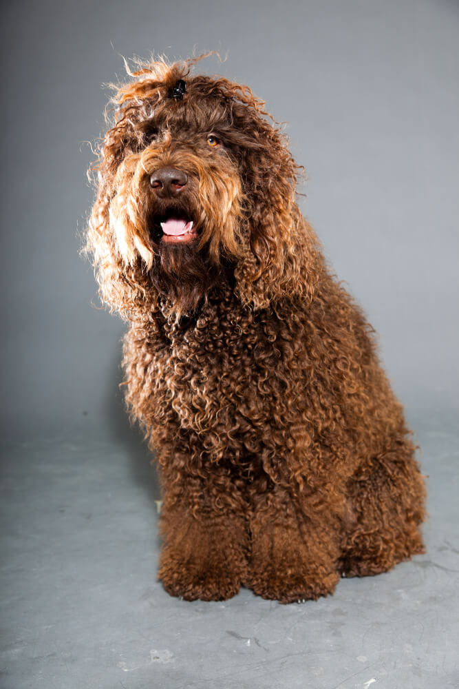 A sweet natured brown haired and curly haired Barbet dog.