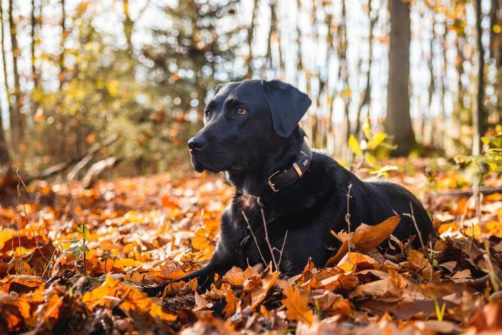 Black Labrador Retriever sitting among leaves in forest