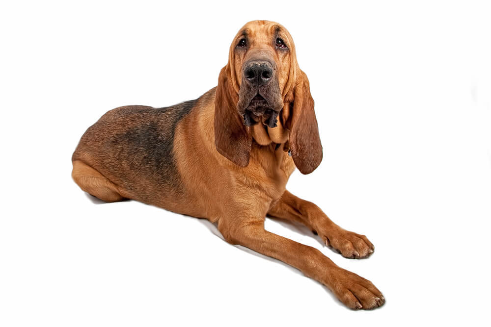 A beautiful large scent hounds known as Bloodhounds.