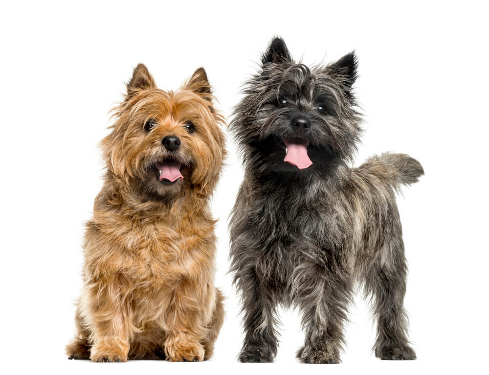 A cute brown and black cairn terrier dogs.