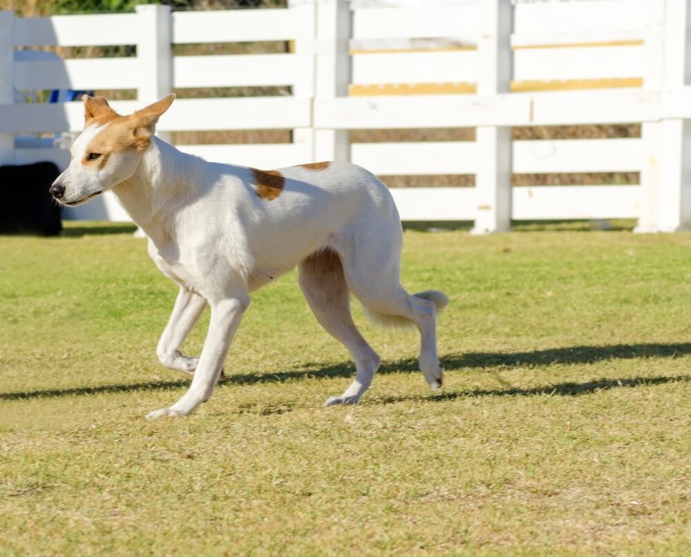The Canaan dog is a herding dog breed.