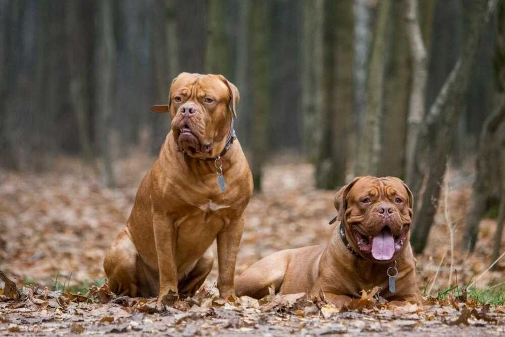 2 French Mastiffs in forest autumn