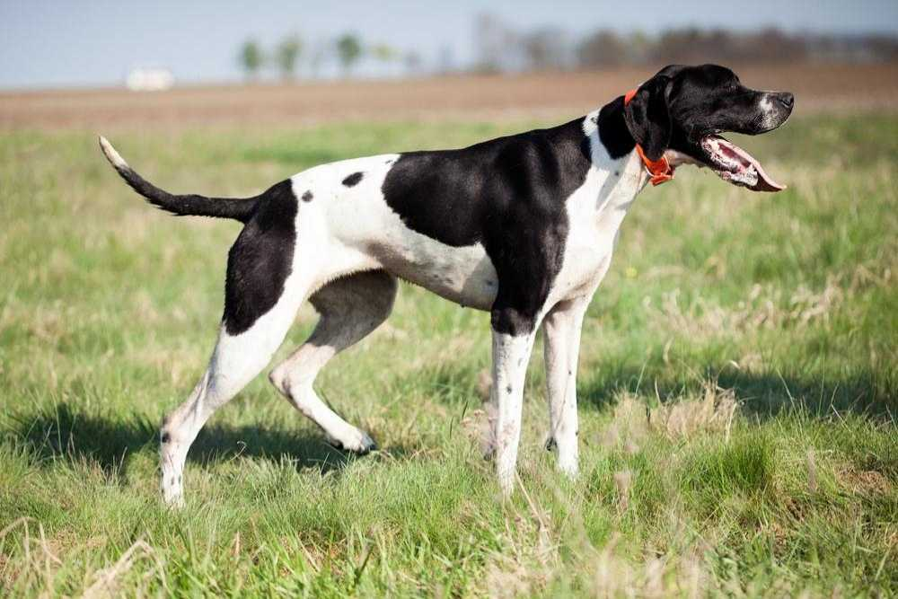 A black and white English pointer dog hunting.