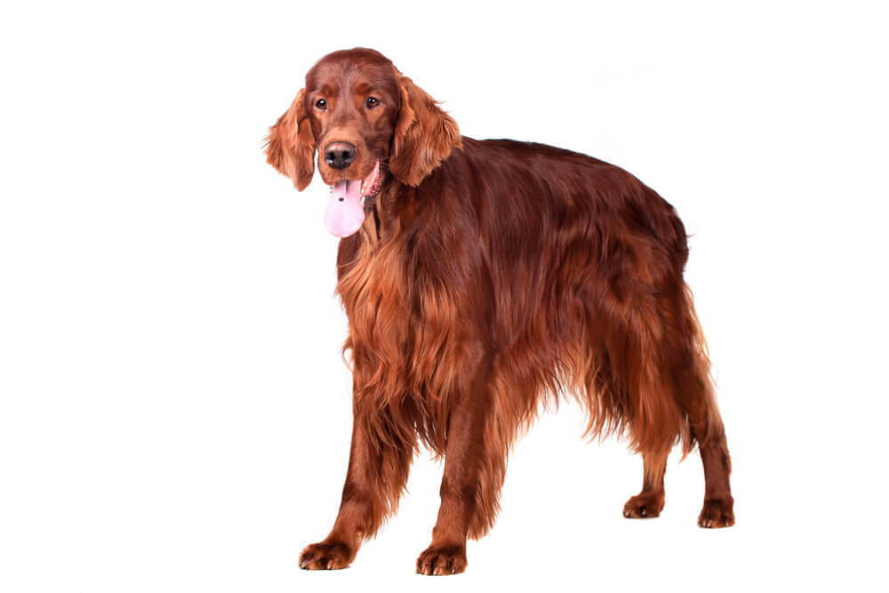 An aristocratic Irish Red Setter
