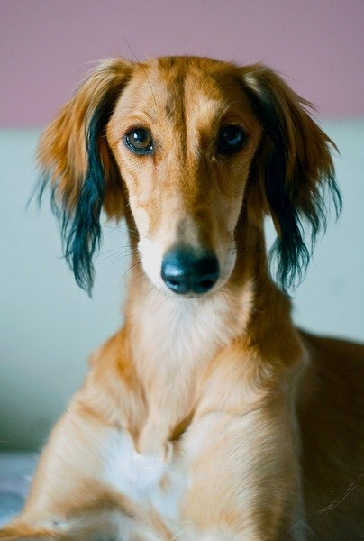 A young brown Saluki puppy