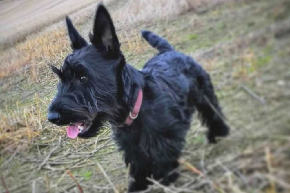 A cute black Scottie puppy