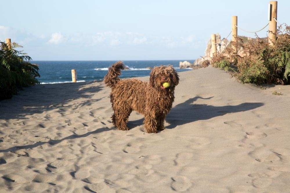 An active Spanish water dog playing with tennis ball on the beach.