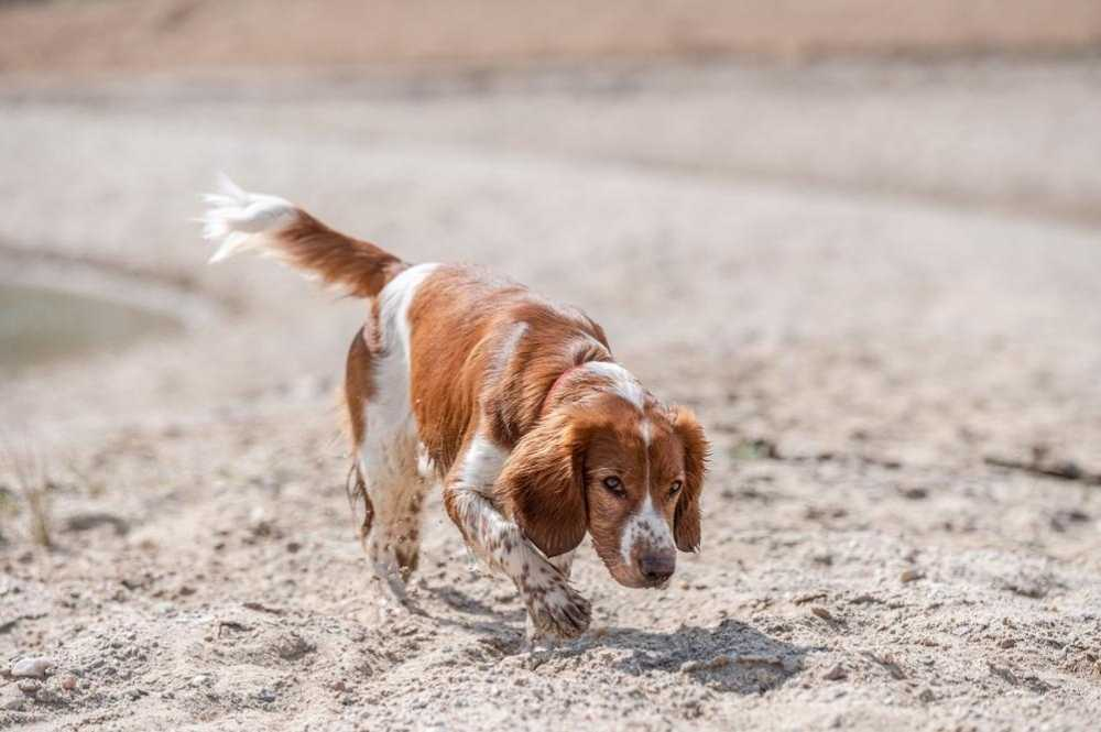 A cute welsh springer spaniel dog playing on the beach