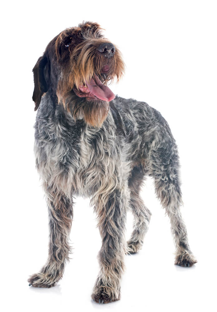The Wire haired Pointing Griffon dog is a popular hunting dog