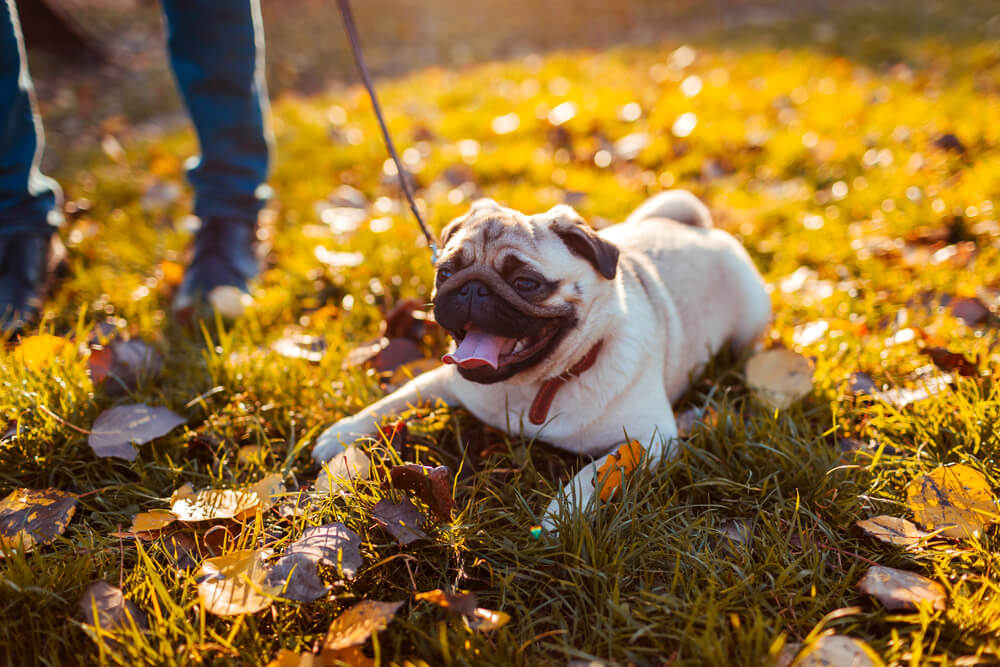 pug on leash sitting on ground refusing to walk with owner