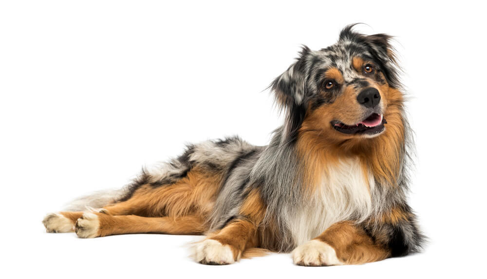 A gorgeous blue merle Australian Shepherd adult dog lying down and panting