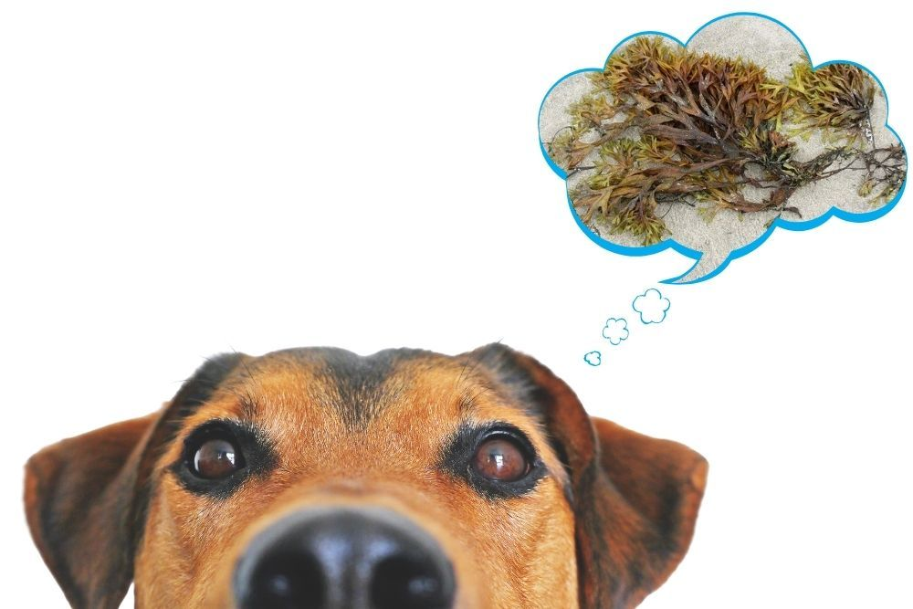 Is seaweed harmful for dogs to ingest?