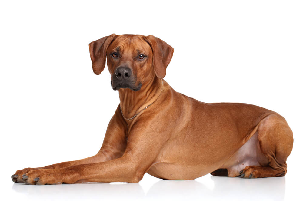 An adult rhodesian ridgeback looking relaxed.