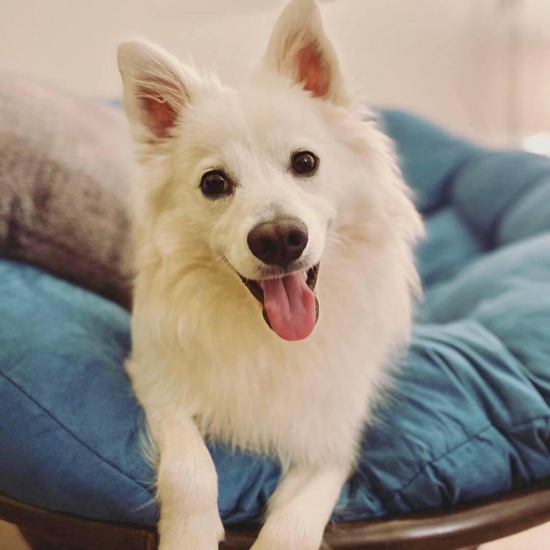 An adorable american eskimo pup