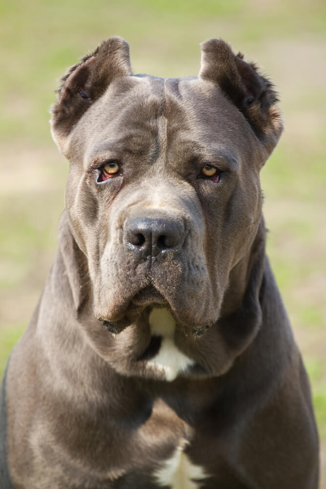 An adult cane corso dog