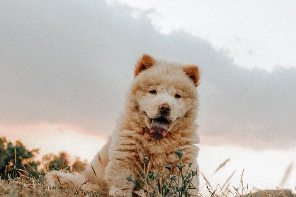 A cute chow chow puppy