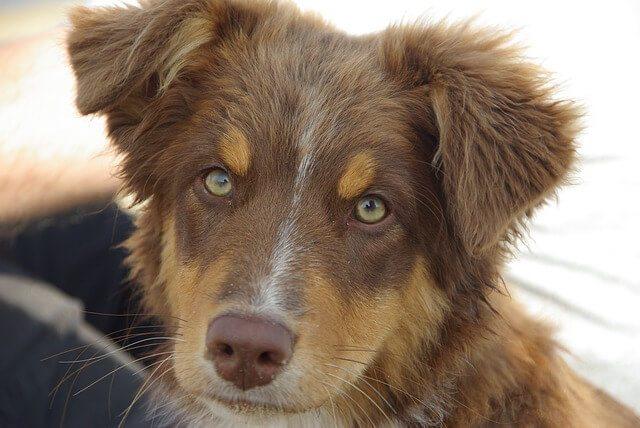 Green-eyed Aussie Shepherd puppy