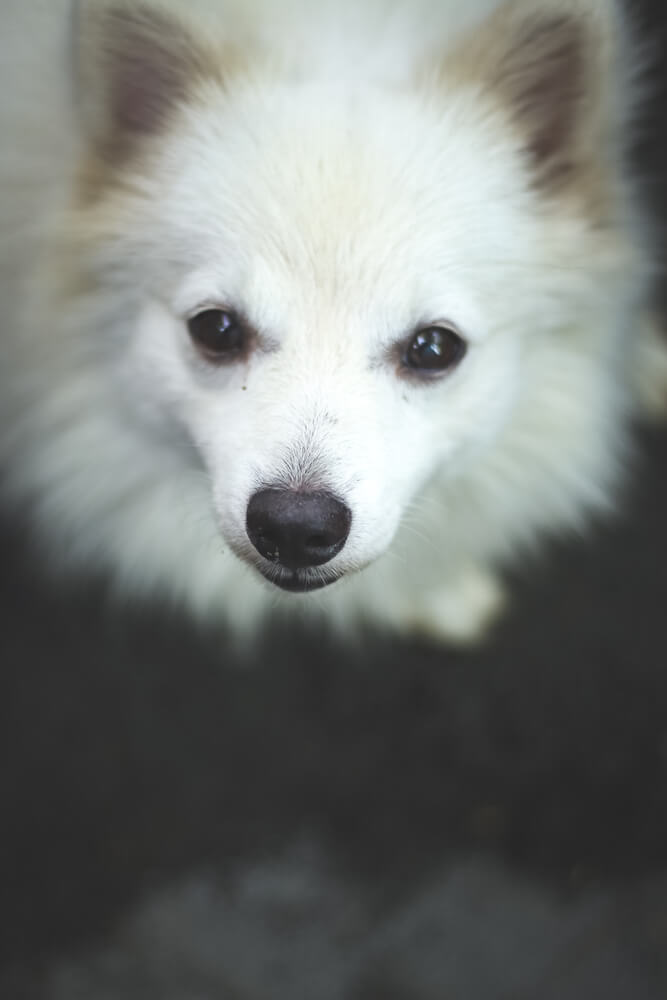 A cute fox like Indian spitz dog